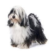 Tibetan terrier — Stock Photo