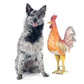 Hungarian dog and rooster — Stock Photo