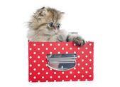 波斯小猫 — 图库照片