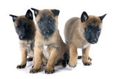 Puppies malinois — Foto de Stock