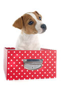 Puppy jack russel terrier — Stock Photo