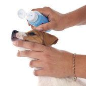 Puppy jack russel terrier — Stock Photo