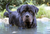 Swimming rottweiler — Stock Photo