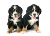 Puppies bernese moutain dog — Stock Photo