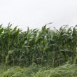 Stock Video: Corn field