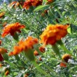 Tracking focus over Marigold field - Stock Photo