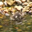 Stock Video: Small duck searching for food
