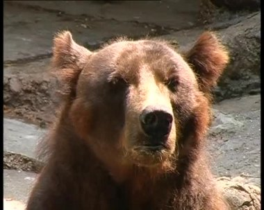Medvěd zblízka 1 — Stock video