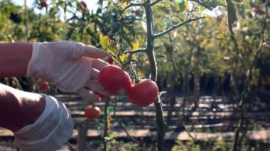 Picking tomatoes — Stock Video