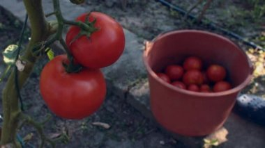 Tomatoes picking — Stock Video