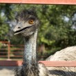 Ostrich head closeup — Foto Stock