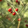 Bunch of red rowan — Stock Photo #36011033