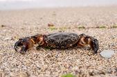 Sea krabba — Stockfoto