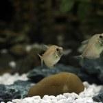 Freshwater Barb — Stock Photo #2254998