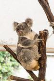 Curious koala — Stock Photo