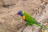 Parrot on the old log — Stock Photo