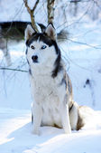 Siberian husky dog (sled dog) with blue eyes in the snow. — Stok fotoğraf