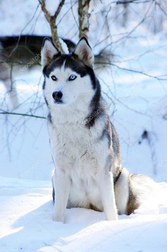 Sled Dog With  Eyes