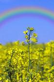 Rape field, canola crops on blue sky — Stock Photo