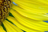 Petals of sunflower close-up over natural background — Stock Photo