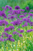 Close up of the flowers of some allium with butterfly — Stock Photo