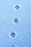 Hare trace on a fresh snow — Stock Photo