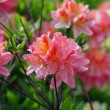 Stock Photo: Blooming Pink Rhododendron (Azalea), close-up, selective focus
