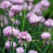 Close up of the flowers of some Chives — Stock Photo #26424447