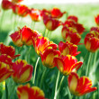 Colorful spring tulip flowers. outdoors garden — Stock Photo
