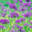 Close up of the flowers of some allium with butterfly — Stock Photo #28770265