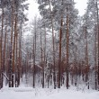 Stock Photo: Winter snow storm in forest