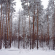 Winter snow storm in a forest  — Stock Photo