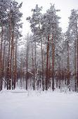 Tempestade de neve do inverno em uma floresta — Foto Stock