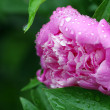 Stock Photo: Peony after rain