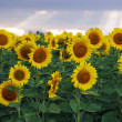 Summer landscape: beauty sunset over sunflowers field — Stock Photo