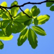 Stock Photo: Fresh leaves of magnoliagainst blue sky