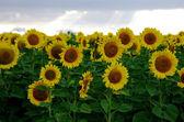 Slunečnicová pole s modrou oblohou v krajině — Stock fotografie