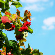Red Viburnum berries in the tree — Stock Photo