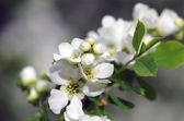 Bird cherry tree in blossom — Foto de Stock