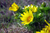 Wild yellow adonis growing in nature, floral natural background  — Stock Photo