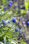 Blue flowers Muscari or murine hyacinth buds and leaves (selecti — Stockfoto