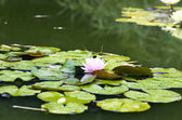 Image of a lotus flower on the water  — Stock Photo