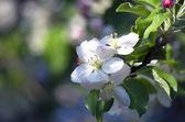 Blossom apple tree. Apple flowers close-up. — Stock Photo
