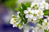 Cherry blossom closeup over natural background  — Stock Photo