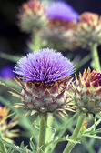 A beautiful flower of a wild artichoke growing along a footpath  — Stock Photo