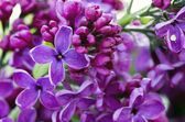 Blooming lilac flowers. Abstract background. Macro photo.  — Stock Photo