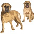 Two images of mastiff — Stock Vector