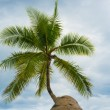 Stock Photo: Palm treetop