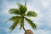 Palm treetop — Stock Photo