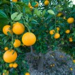 Royalty-Free Stock Photo: Orange tree